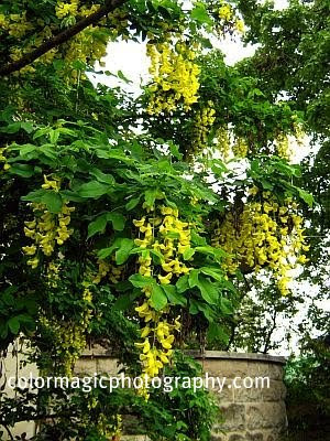 Flowering Golden Rain tree