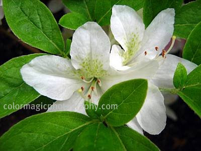 White Azalea close-up