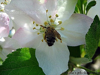 Apple blossom with a bee-closeup
