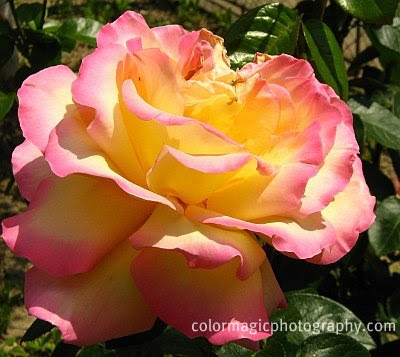 Yellow-pink rose in the sunshine
