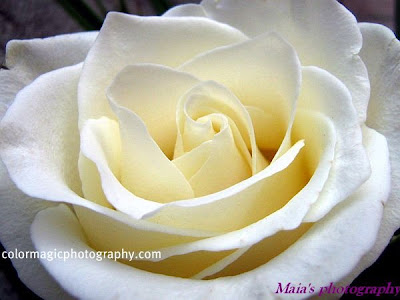 White rose close-up photo