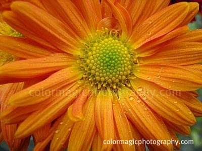 Orange chrysanthemum with raindrops close-up