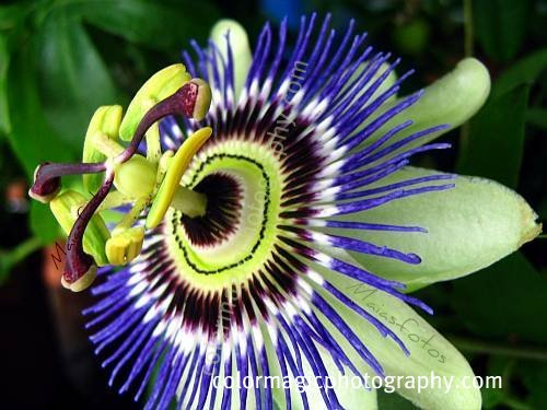 Blue passion flower-macro photo