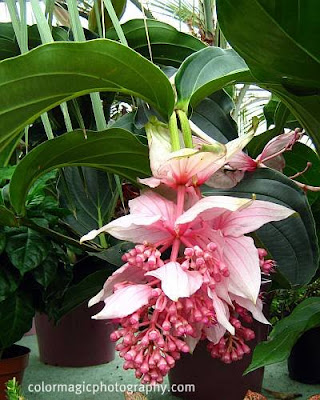 Medinilla magnifica-close up