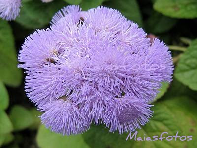 Ageratum - Flossflower-close-up