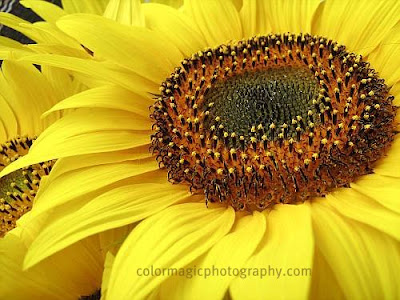 Sunflower-close up