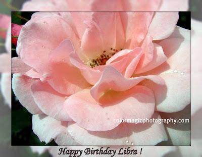 Pink rose for Libra