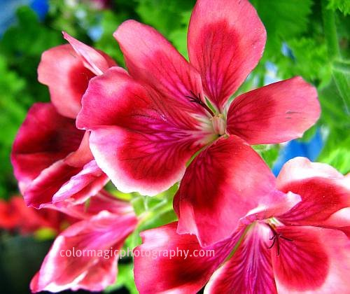 Pink-crimson geranium close up