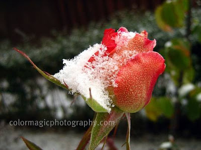 Rose and snow