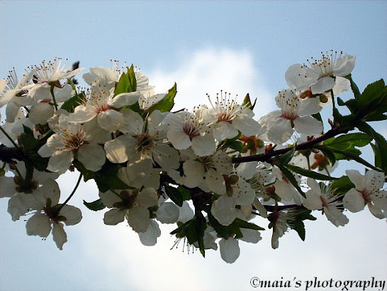 White cherry blossoms, twig against the blue sky
