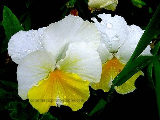 White-yellow pansies-macro photo
