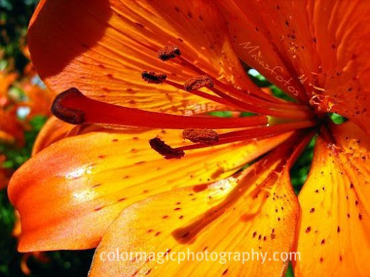 Tiger lily-macro photography