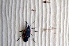 """Boxelder Bug """"Leptocoris trivittatus"""""""