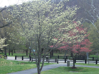 Spring dogwoods.