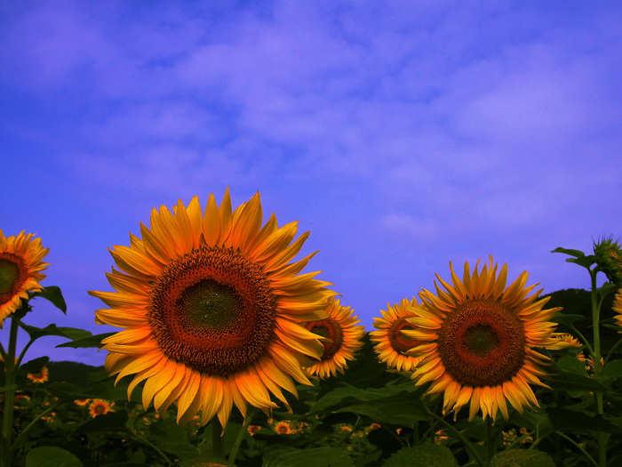 Beautiful Sunflower Photos