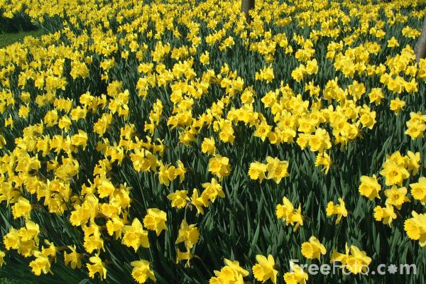 skillin s garden log daffodils narcissus and jonquils