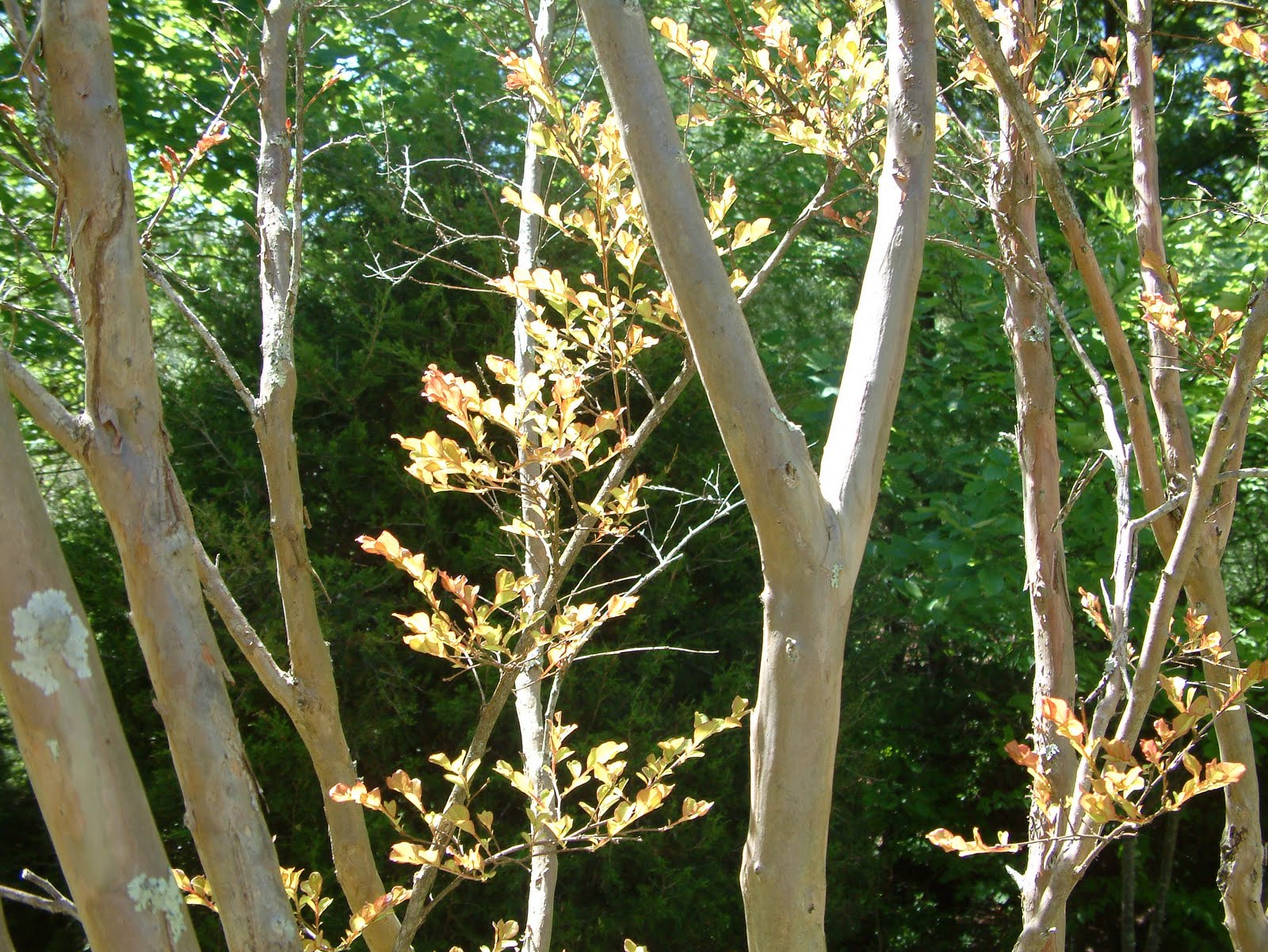 A year with the trees april 29 crape myrtle lagerstroemia this is a small tree with many small trunks that have beautiful smooth bark it has small oval opposite leaves that come out later in the spring than most mightylinksfo