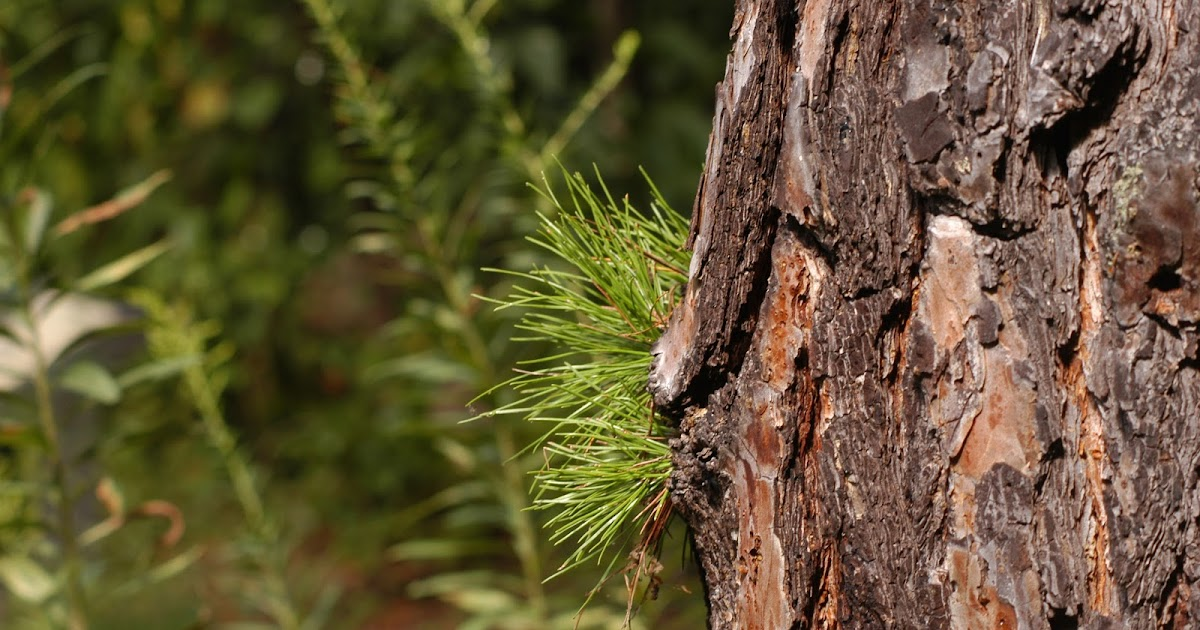 Early Forest Tree Photography And Information Pinus