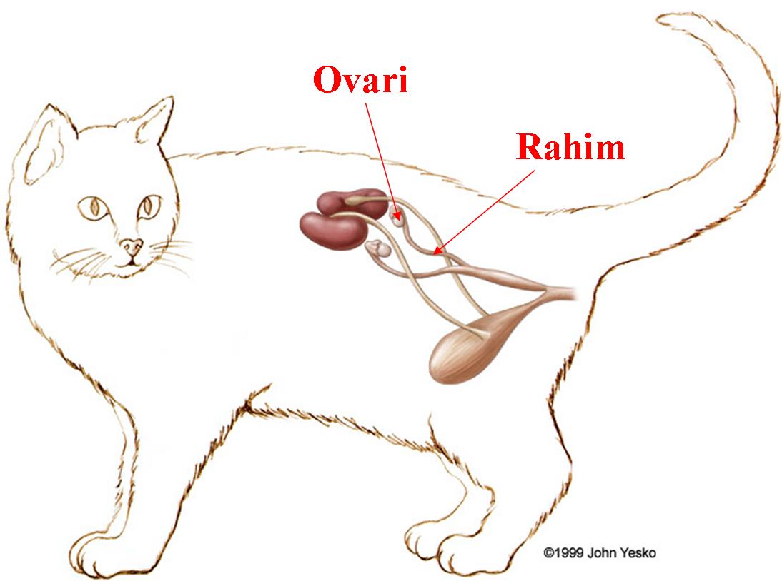 Kucing Betina Keluar Darah Infeksi Saluran Kemih Pada