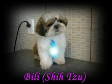 Bili (Shih Tzu)