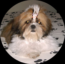 Nice Girl Fluffy Dog Show (Shih Tzu)