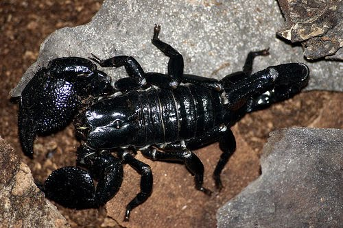The TOP 10 Worlds Most Dangerous Scorpions | YouDontKnow ... |Worlds Most Venomous Scorpion