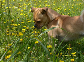 la mia cucciolina Viola in mezzo ai fiori! Avete mai visto un cane così bello??