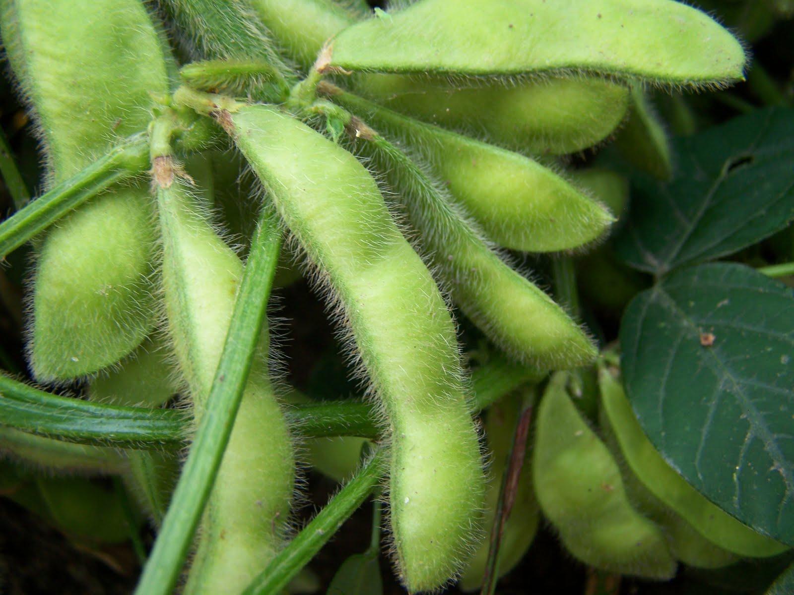 Growing Edamame - Bonnie Plants |Edamame Flower