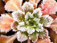 chiciura, planta ger, iarna, frig, gradina