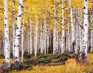 Pando ¿Un bosque? No, un solo árbol.