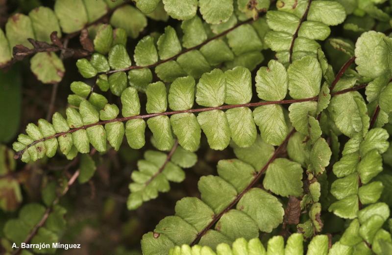 Naturaleza viva asplenium trichomanes l fam aspleniaceae for Plantas sin semillas