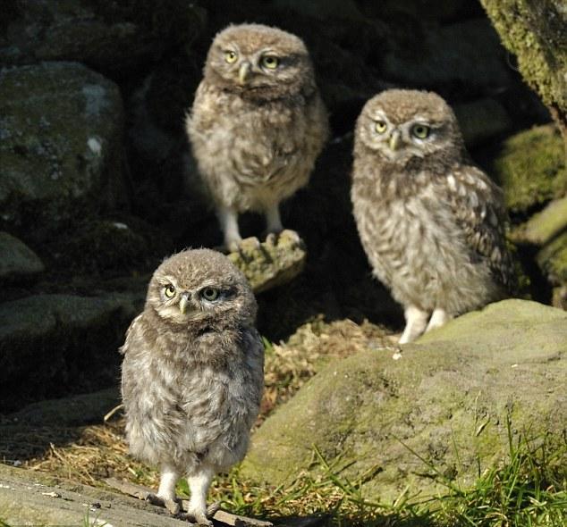 Something Amazing World Smallest Owl
