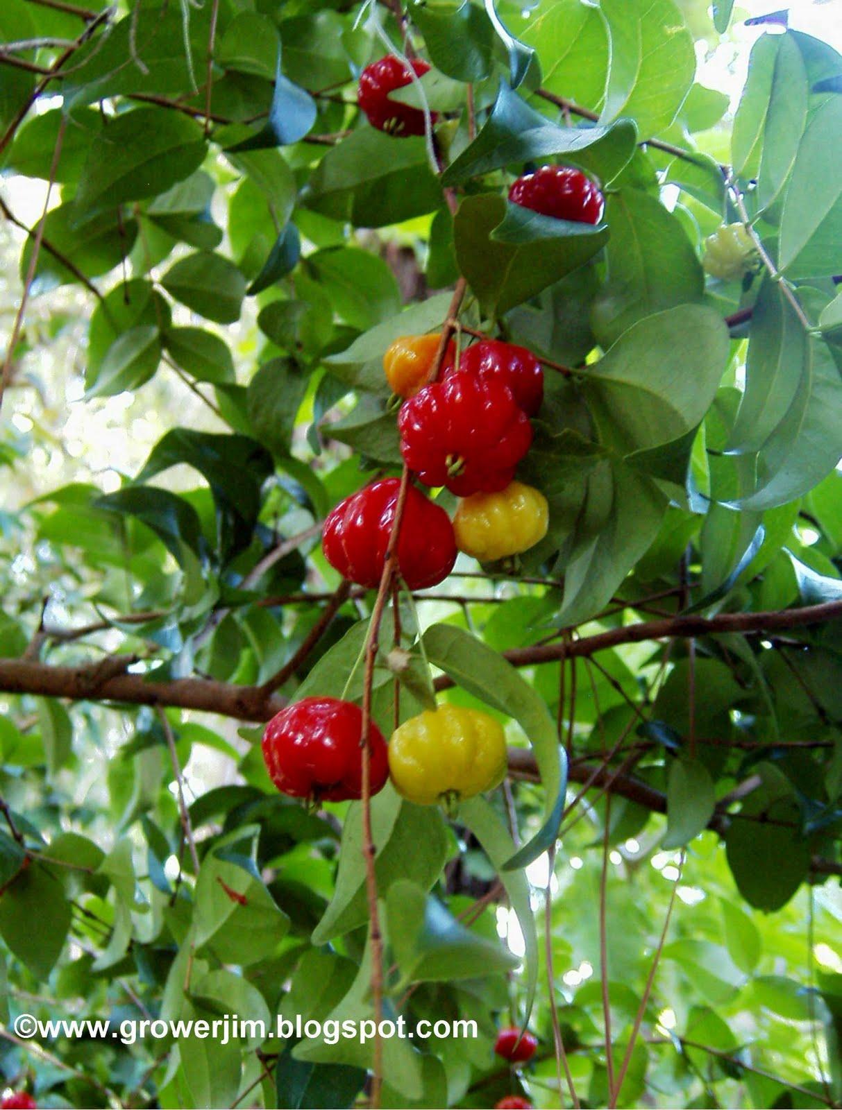 Surinam Cherry Eugenia Uniflora on Tropical Ornamental Trees