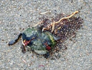 Road kill gallery long neck turtle