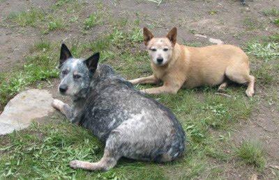 Red, Blue and Queensland Heeler: Queensland Heeler a dog of