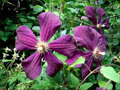 clematis clematis viticella 39 etoile violette 39. Black Bedroom Furniture Sets. Home Design Ideas