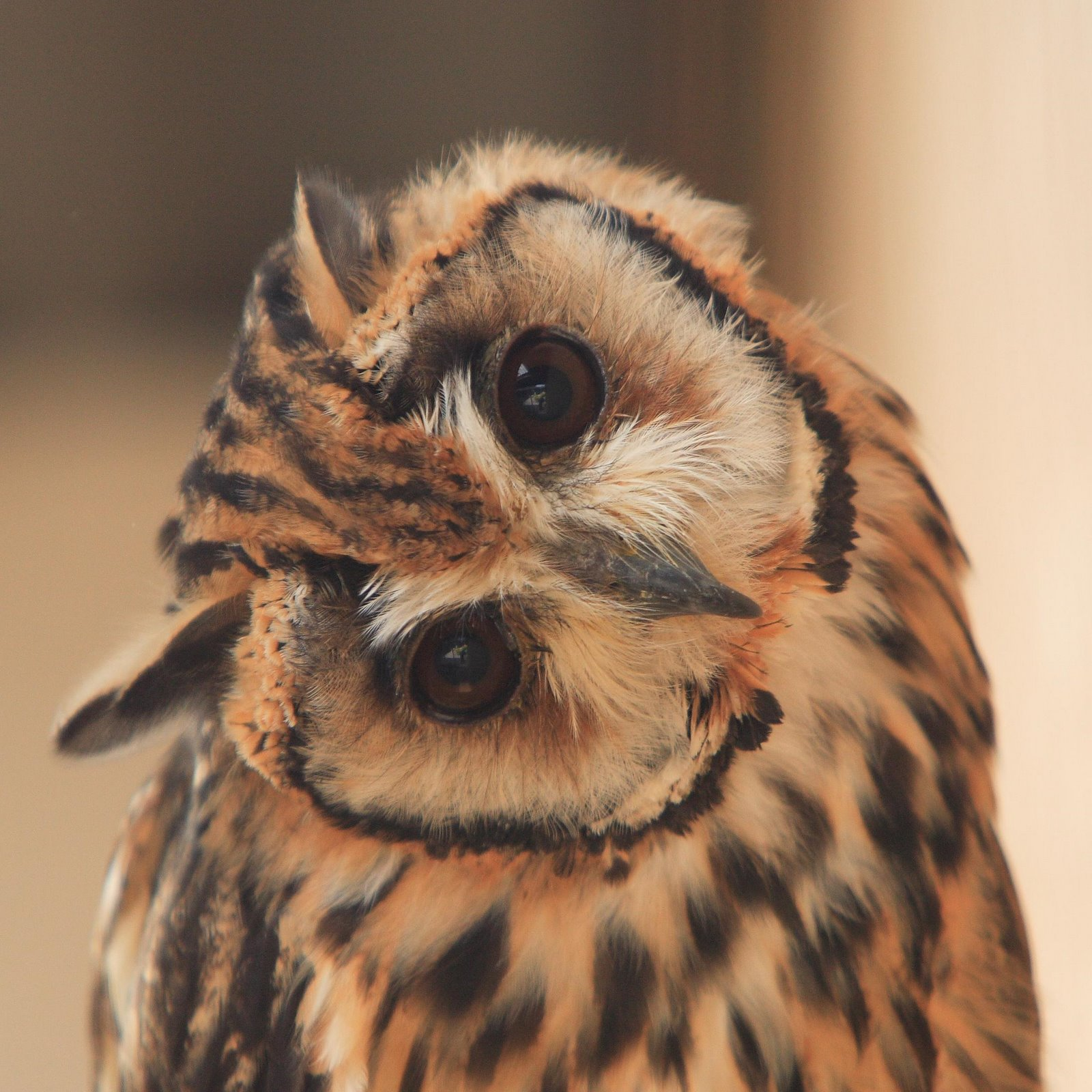 [Spectacled+Owl+3]