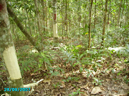 Agarwoods in  Malaysian Wilderness.