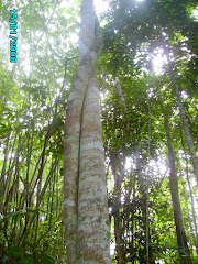 Agarwood species in the wild.