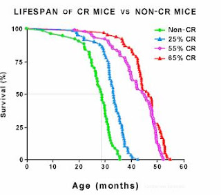 lifespan of rats on calorie restricted diets