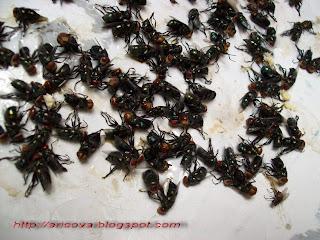 Tidak Hanya Nyamuk Lalat Juga