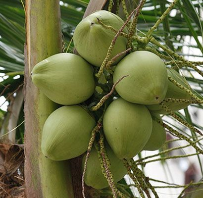 Fact of Coconut Water that will surprise you