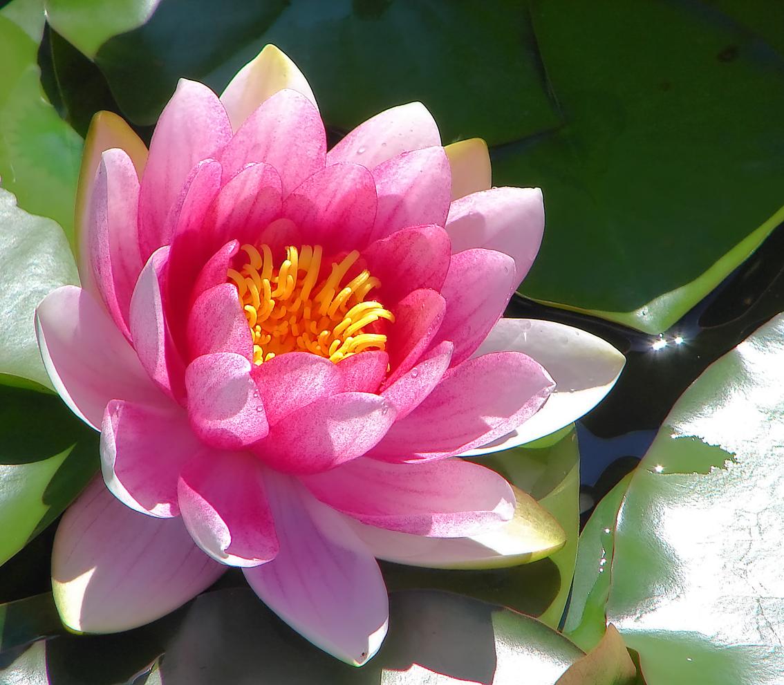 Water Lily: JOHANAN Papyrus: Susaine