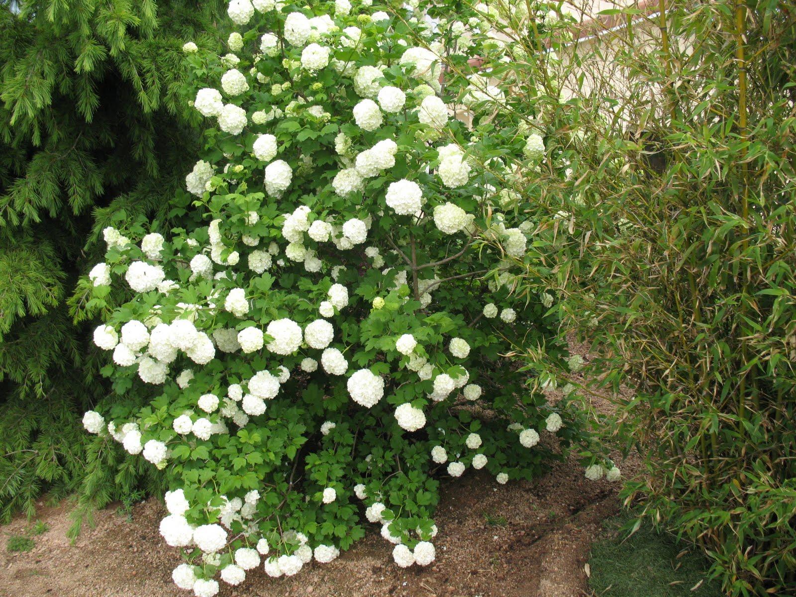 Roses du jardin ch neland viburnum opulus roseum for Au jardin de ma grand mere