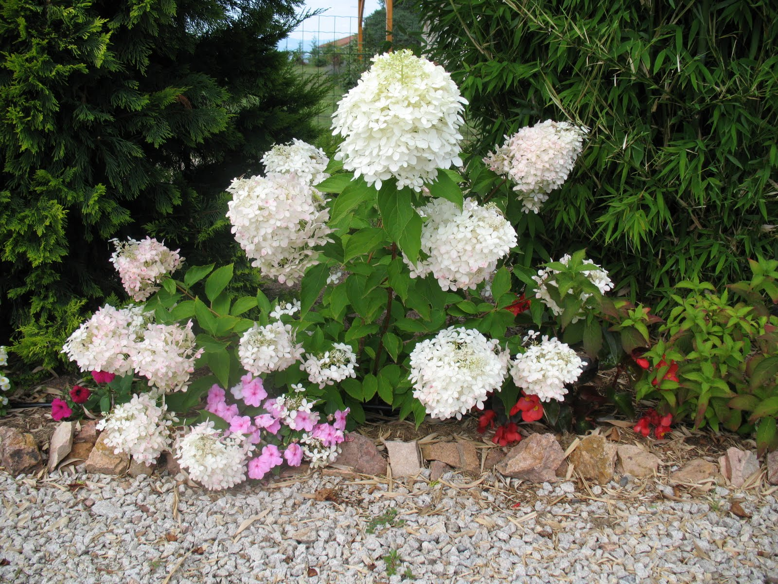 Roses Du Jardin Cheneland Hydrangea Paniculata Phantom