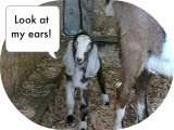Milk 'n Honey Ranch's Dairy Goats