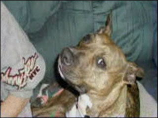 Pit Bull owners wake up!: Craigslist Pit Bull attack
