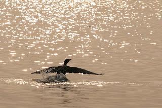 Cormorano in atterraggio al tramonto