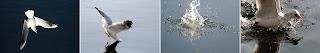 battuta di pesca di gabbiani comuni