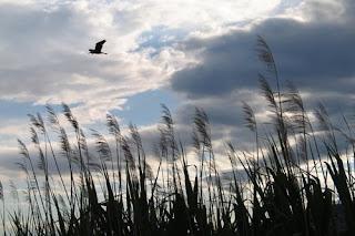 airone in volo sopra il canneto - FOTO DI RICCARDO AGRETTI